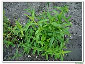 甜梨薄荷-唇形科-草本花卉-香草植物:甜梨薄荷11.jpg