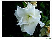 射日杜鵑-杜鵑花科-木本花卉:射日杜鵑1.JPG