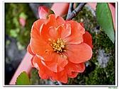 刺梅-薔薇科-木本花卉:刺梅209.JPG