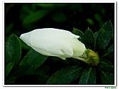 射日杜鵑-杜鵑花科-木本花卉:射日杜鵑2.JPG