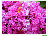小花紫薇(紫紅色)-千屈菜科-木本花卉:小花紫薇-紫紅色10.jpg