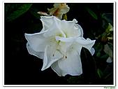 射日杜鵑-杜鵑花科-木本花卉:射日杜鵑3.JPG