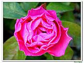 繞月杜鵑-杜鵑花科-木本花卉:繞月杜鵑03.jpg