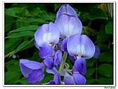 紫藤-豆科-藤蔓植物:紫藤02.jpg