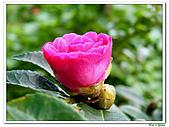 小玫瑰茶花-茶科-木本花卉:小玫瑰茶花4.JPG
