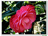 玫瑰茶花-茶科-木本花卉:玫瑰茶花04.JPG
