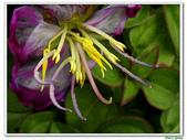 蔓性野牡丹-野牡丹科-藤蔓植物-地被植物:蔓性野牡丹12.jpg