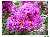 小花紫薇(紫紅色)-千屈菜科-木本花卉:小花紫薇-紫紅色11.jpg