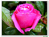 繞月杜鵑-杜鵑花科-木本花卉:繞月杜鵑04.jpg