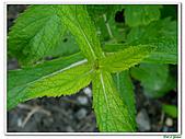 甜梨薄荷-唇形科-草本花卉-香草植物:甜梨薄荷12.jpg