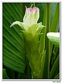 鬱金(薑黃)-薑科-球根植物:鬱金05.jpg