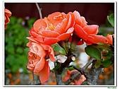 刺梅-薔薇科-木本花卉:刺梅210.JPG