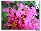 小花紫薇(紫紅色)-千屈菜科-木本花卉:小花紫薇-紫紅色12.jpg