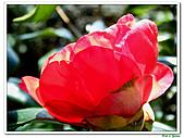 小紅茶花-茶科-木本花卉:小紅茶花04.JPG
