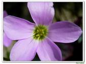 紫葉酢漿草(幸運草):紫葉酢漿草(幸運草)7.jpg