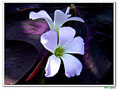 紫葉酢漿草-酢漿草科-草本花卉:紫葉酢漿草17.jpg