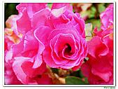 繞月杜鵑-杜鵑花科-木本花卉:繞月杜鵑05.jpg