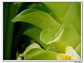 鬱金(薑黃)-薑科-球根植物:鬱金17.jpg