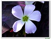 紫葉酢漿草-酢漿草科-草本花卉:紫葉酢漿草18.jpg