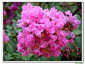 小花紫薇(紫紅色)-千屈菜科-木本花卉:小花紫薇-紫紅色13.jpg