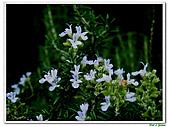 匍匐迷迭香-唇形科-香草植物-草本花卉-地被植物:匍匐迷迭香04.jpg