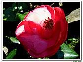 小紅茶花-茶科-木本花卉:小紅茶花05.JPG
