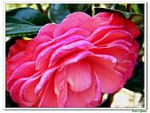 玫瑰茶花-茶科-木本花卉:玫瑰茶花05.JPG