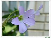 紫葉酢漿草-酢漿草科-草本花卉:紫葉酢漿草19.jpg