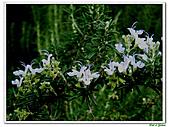 匍匐迷迭香-唇形科-香草植物-草本花卉-地被植物:匍匐迷迭香17.jpg