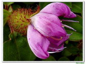 蔓性野牡丹-野牡丹科-藤蔓植物-地被植物:蔓性野牡丹13.jpg