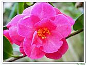 小玫瑰茶花-茶科-木本花卉:小玫瑰茶花5.JPG