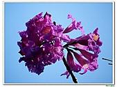 洋紅風鈴木-紫葳科-木本花卉:洋紅風鈴木201.jpg