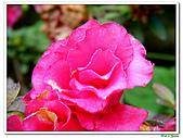 繞月杜鵑-杜鵑花科-木本花卉:繞月杜鵑07.jpg