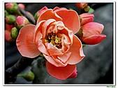 刺梅-薔薇科-木本花卉:刺梅211.JPG