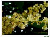 野桐(雄花)-大戟科-木本花卉:野桐-雄花15.jpg