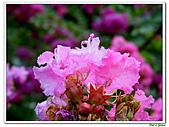 小花紫薇(紫紅色)-千屈菜科-木本花卉:小花紫薇-紫紅色14.jpg