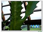 三角柱-仙人掌科-多肉植物-沙漠植物:三角柱11.jpg