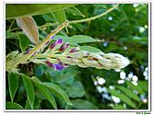 紫藤-豆科-藤蔓植物:紫藤04.jpg