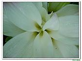鬱金(薑黃)-薑科-球根植物:鬱金10.jpg