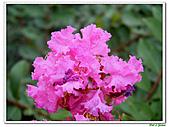 小花紫薇(紫紅色)-千屈菜科-木本花卉:小花紫薇-紫紅色15.jpg