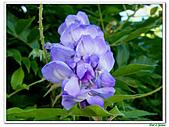紫藤-豆科-藤蔓植物:紫藤05.jpg