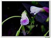紫葉酢漿草-酢漿草科-草本花卉:紫葉酢漿草20.jpg