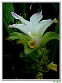 鬱金(薑黃)-薑科-球根植物:鬱金06.jpg