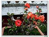 刺梅-薔薇科-木本花卉:刺梅212.JPG