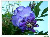 紫藤-豆科-藤蔓植物:紫藤06.jpg
