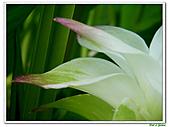 鬱金(薑黃)-薑科-球根植物:鬱金18.jpg