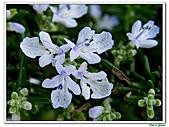匍匐迷迭香-唇形科-香草植物-草本花卉-地被植物:匍匐迷迭香05.jpg