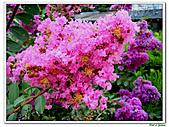 小花紫薇(紫紅色)-千屈菜科-木本花卉:小花紫薇-紫紅色16.jpg