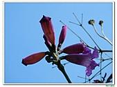 洋紅風鈴木-紫葳科-木本花卉:洋紅風鈴木202.jpg
