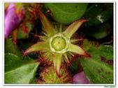 蔓性野牡丹-野牡丹科-藤蔓植物-地被植物:蔓性野牡丹14.jpg